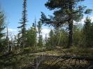 Кедры и пихты на горе Ямаровка