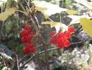 Красная смородина (кислица)